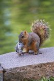 Squirrel Eating Bird Royalty Free Stock Photos