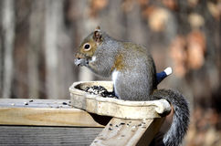 Squirrel eating bird. Squirrel taking his turn at the bird feeder Stock Image