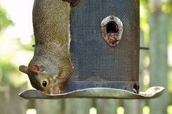 Squirrel. Eating from a bird feeder Stock Photos