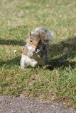 A squirrel eating in Bournemouth Park Stock Image