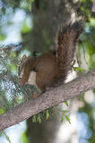 Squirrel is eating Royalty Free Stock Photos