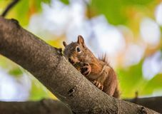 Squirrel eating on a branch royalty free stock images