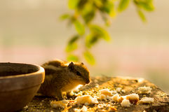 Squirrel eating bread crumbs near clay pot Stock Photos