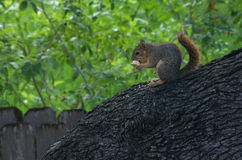 Squirrel eating bread. Cute little squirrel perches in back yard tree, eating a piece of bread Stock Images