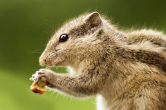 SQUIRREL. Eating bread in green Stock Photography