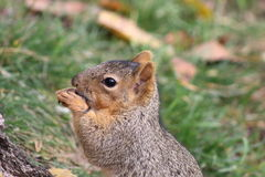 Squirrel eating Royalty Free Stock Photography