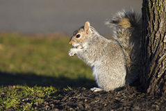 Squirrel eating candies Stock Images