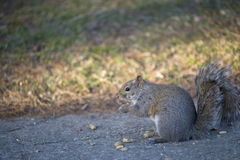 Squirrel Eating. Squirrel caught eating peanuts in Park, Toronto Royalty Free Stock Photo