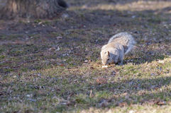 Squirrel Eating. Squirrel caught eating peanuts in Park, Toronto Royalty Free Stock Photos