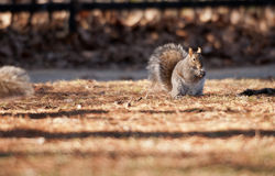 Squirrel Eating. Squirrel caught eating peanuts in Park, Toronto Royalty Free Stock Image