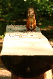 Squirrel eating cedar nuts on the bench Stock Image