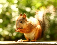 Squirrel eating cedar  nuts on the bench Stock Photos
