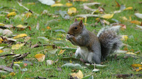 Squirrel eating chestnut in Greenwich park near London Stock Photo