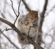Squirrel. Eating a chicken wing Royalty Free Stock Photo