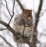 Squirrel. Eating a chicken wing Stock Photography