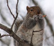 Squirrel. Eating a chicken wing Stock Image
