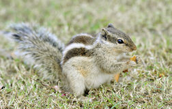 Squirrel eating chips Royalty Free Stock Photos