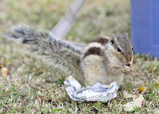 Squirrel eating chips Stock Photo
