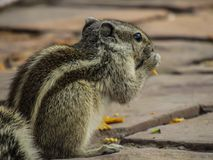 Squirrel eating chips on a walking path. Squirrel eating chips on a walking path, near Lotus Temple, New Delhi, close up Stock Photo