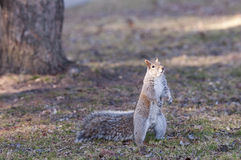 Squirrel Eating. Close-up of a grey squirrel, tasting food Stock Photography