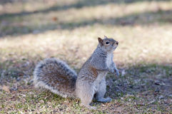 Squirrel Eating. Close-up of a grey squirrel, tasting food Royalty Free Stock Photo