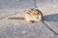 Squirrel Eating. Close-up of a grey squirrel, tasting food Royalty Free Stock Photography