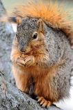 Squirrel eating in closeup Stock Images