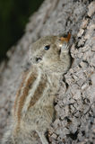 Squirrel Eating On Coarse Surface. Squirrel eating on coarse bark of a tree Stock Images