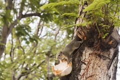 Squirrel eating coconut on tree. royalty free stock photography