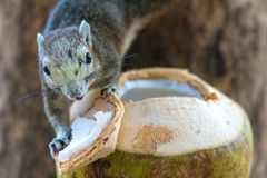 Squirrel eating a coconut on a tree royalty free stock photo