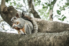 Squirrel. Eating a cookie on a tree Stock Photos