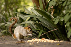Squirrel eating corn. A small squirrel eats some corn by the bushes Stock Images