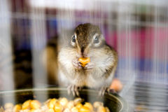 Squirrel eating corns. A squirrel in the cage eating corns,and gazing outside Stock Images