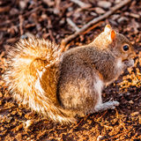 Squirrel eating crunchy pinecorn Stock Photo