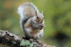 Squirrel Eating Royalty Free Stock Image