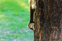 Squirrel eating a dry fruit on the tree. The squirrel is eating a dry fruit while grabbing to a tree trunk Royalty Free Stock Photos