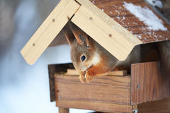 Squirrel eating in the feederr Stock Images