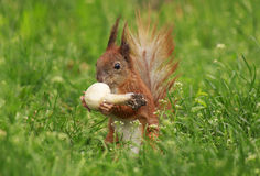 Squirrel eating field mushroom Royalty Free Stock Photo