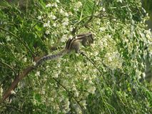 Squirrel eating flower buds sitting on branch of tree white. Brown grey eyes face legs tail green leaves bush hiding Stock Images