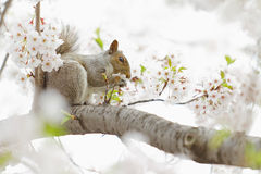 Squirrel Eating Flower Stock Images