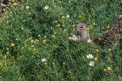 Squirrel eating flowers in green vegetation stock photos