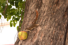 Squirrel eating food in coconut on a tree. Royalty Free Stock Image