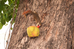 Squirrel eating food in coconut on a tree Royalty Free Stock Photo