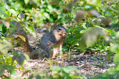 Squirrel eating food Stock Images