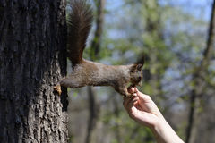 Squirrel eating food from human hand Stock Photography