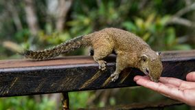 Squirrel eating food from the human hand royalty free stock photo