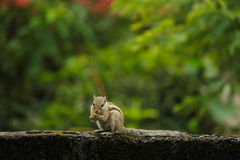 Squirrel eating food Stock Photography