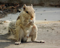 Squirrel Eating Food Royalty Free Stock Image