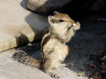 Squirrel Eating Food Stock Image
