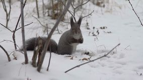 Squirrel eating nuts on the snow stock video footage